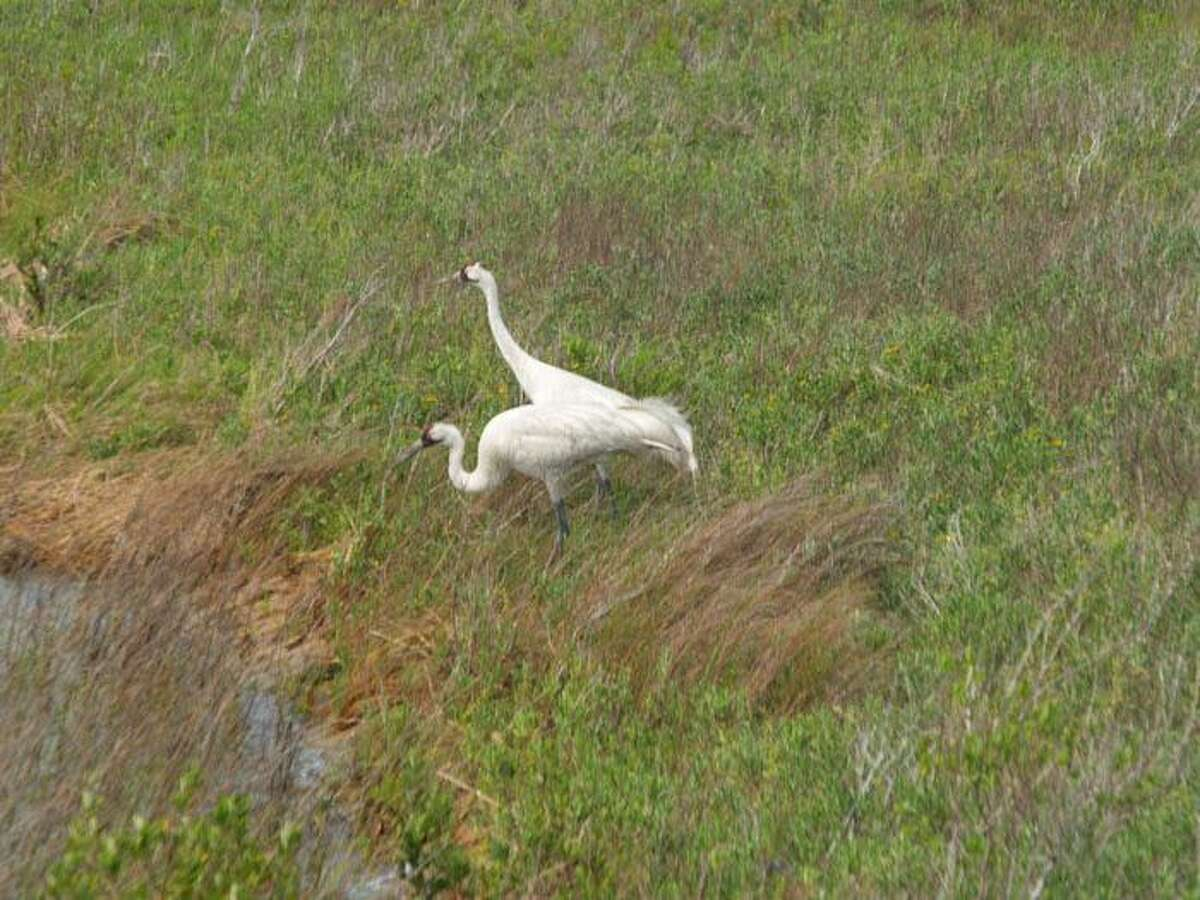 The first time I saw Whooping Cranes I could not believe the size and beauty of them.