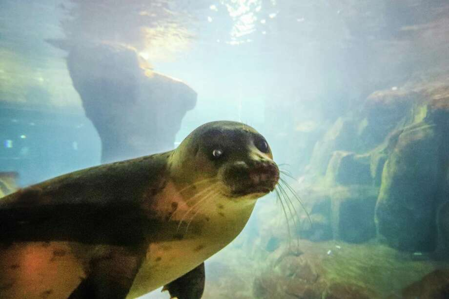 Rescued and rehabbed Harbor Seal pup, Tomato looks out from an underwater window during a public debut at Moody Gardens Aquarium Pyramid Wednesday, July 11, 2018, in Houston. Tomato another pup, Ravioli, traveled 2,324 miles this past February from Crescent City, California to Galveston Island, are not able to be released back into the wild. ( Steve Gonzales / Houston Chronicle ) Photo: Steve Gonzales, Houston Chronicle / Houston Chronicle / © 2018 Houston Chronicle