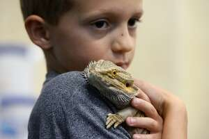 Jaxon Yarbrough holds a bearded dragon at the Beaumont Children Museum's critter camp. Wednesday was reptile day for the week-long camp.