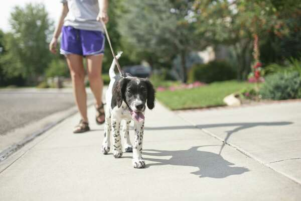 Before noon or in the evening are the ideal of times of day to walk your dog in the summer.