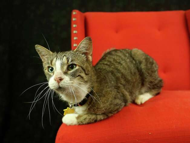 Jackie (Animal ID: 367900) A ten-year-old, spayed female, three-legged cat is available for adoption at the Houston SPCA, Wednesday, July 11, 2018, in Houston. Photo: Karen Warren, Houston Chronicle / © 2018 Houston Chronicle
