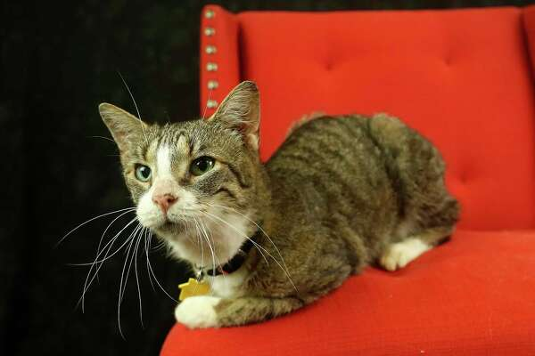 Jackie (Animal ID: 367900) A ten-year-old, spayed female, three-legged cat is available for adoption at the Houston SPCA, Wednesday, July 11, 2018, in Houston.