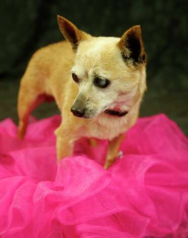 Blanch (Animal ID: 368485) A nine-year-old, spayed female, Chihuahua mix, is available for adoption at the Houston SPCA, Wednesday, July 11, 2018, in Houston. Photo: Karen Warren, Houston Chronicle / © 2018 Houston Chronicle