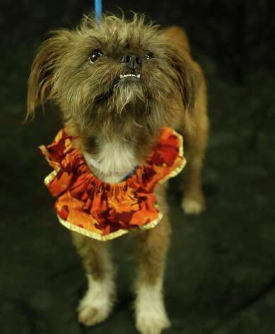 Graham (Animal ID: 368600) A two-year-old, neutered male, Shih Tzu/Chihuahua mix, is available for adoption at the Houston SPCA, Wednesday, July 11, 2018, in Houston. Photo: Karen Warren, Houston Chronicle / © 2018 Houston Chronicle