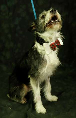 Carter (Animal ID: 366984) A two-year-old, neutered male, Terrier mix, is available for adoption at the Houston SPCA, Wednesday, July 11, 2018, in Houston. Photo: Karen Warren, Houston Chronicle / © 2018 Houston Chronicle