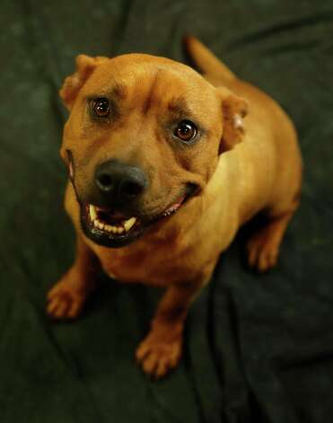 Buffy (Animal ID: 368541) A three-year-old, spayed female, Shepherd mix, is available for adoption at the Houston SPCA, Wednesday, July 11, 2018, in Houston. Photo: Karen Warren, Houston Chronicle / © 2018 Houston Chronicle