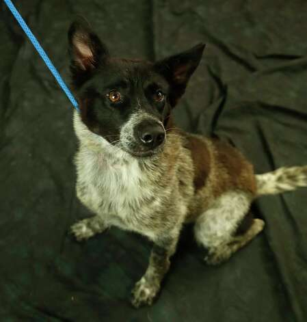 Vega (Animal ID: 367935) A 1 1/2-year-old, spayed female, Australian Cattledog mix available for adoption at the Houston SPCA, Wednesday, July 11, 2018, in Houston. Photo: Karen Warren, Houston Chronicle / © 2018 Houston Chronicle