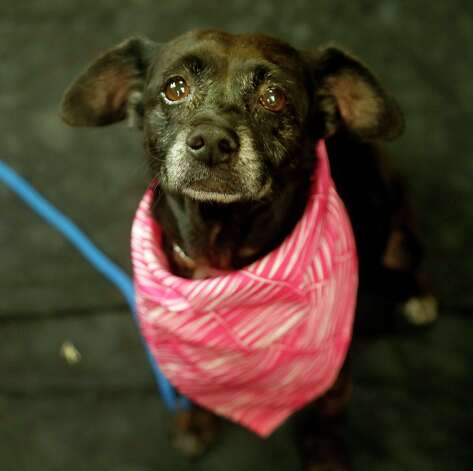 Hilda (Animal ID: 43169) A nine-year-old, spayed female, Dachshund, Miniature Smooth Haired Terrier mix available for adoption at the Houston SPCA, Wednesday, July 11, 2018, in Houston. Photo: Karen Warren, Houston Chronicle / © 2018 Houston Chronicle