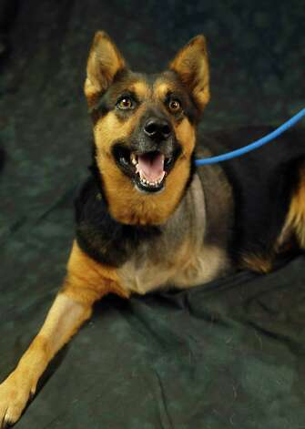 Cookie (Animal ID: 365613) A three-leg, two-year-old, spayed female Shepherd mix available for adoption at the Houston SPCA, Wednesday, July 11, 2018, in Houston. Photo: Karen Warren, Houston Chronicle / © 2018 Houston Chronicle