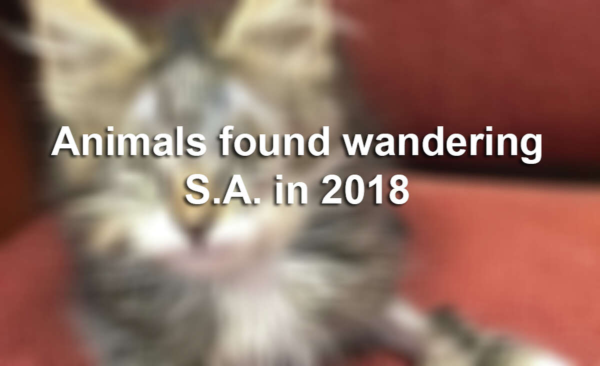 It's common to find dogs wandering around San Antonio neighborhoods, but what happens when residents come across potbellied pigs, baby longhorns and bobcats running loose.