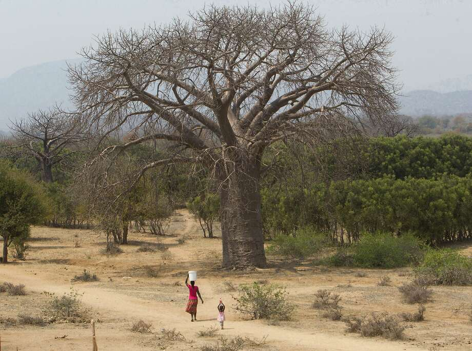 Nine ancient baobabs, aged between 1,000 and 2,500 years, have died over the past dozen years. Photo: Tsvangirayi Mukwazhi / Associated Press