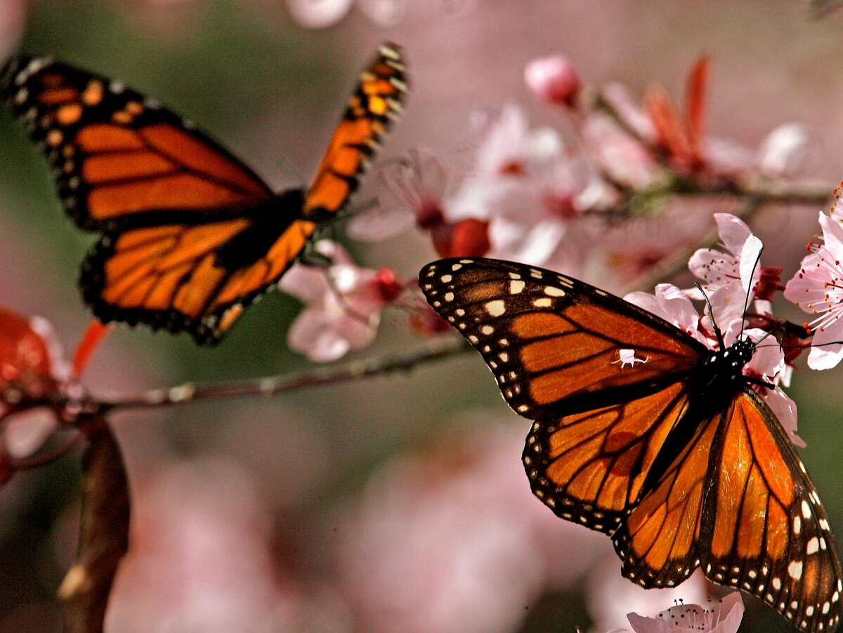 Two Monarch butterflies feed off the nectar of a cherry blossom tree in Pacific Grove. Pacific Grove is home to the Monarch Grove Sanctuary. Each winter, thousands of Monarch Butterflies cluster together on the pines and eucalyptus of the sanctuary. Arriving in October, these hardy insects will stay until February when they they mate just before St. Valentines day. They will join the spring Monarch migration, spreading northward and eastward, hunting for milkweed plants on which to lay their eggs. Photo by Frederic Larson / San Francisco Chronicle