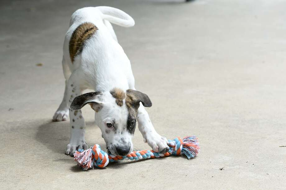 Ted, a young male puppy, at the Humane Society of Southeast Texas.  Photo taken Thursday 7/12/18  Ryan Pelham/The Enterprise Photo: Ryan Pelham / The Enterprise / ©2018 The Beaumont Enterprise