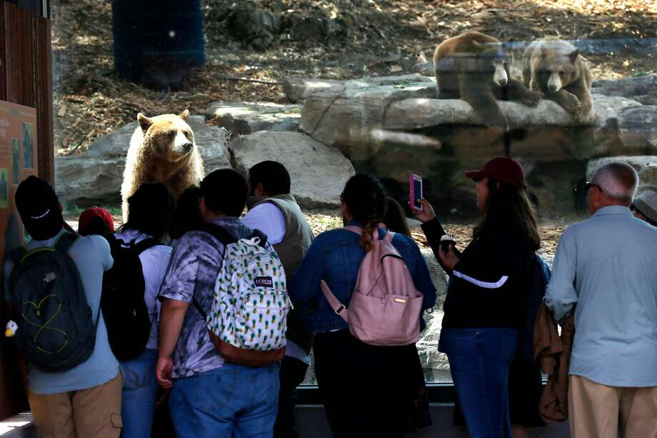 Black bears stare at a group of visitors staring back during the grand opening of the California Trail at the Oakland Zoo in Oakland, Calif. on Thursday, July 12, 2018. The 56-acre exhibit featuring eight animal species native to California more than doubles the size of the zoo. Photo: Photos By Paul Chinn / The Chronicle