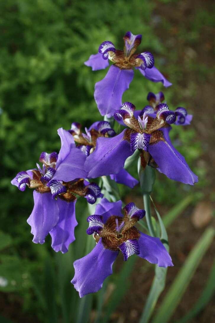 Purple walking iris