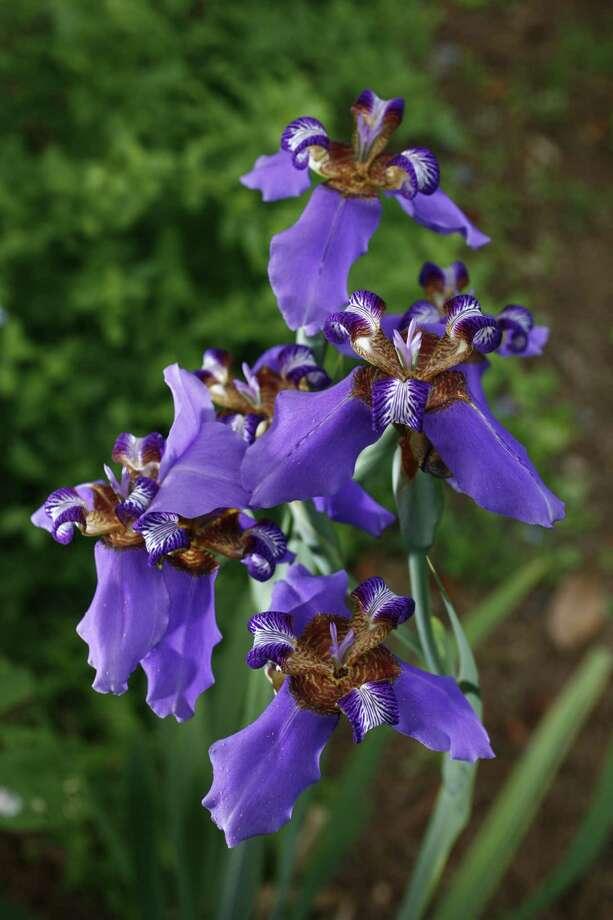 Purple walking iris Photo: John Everett / John Everett