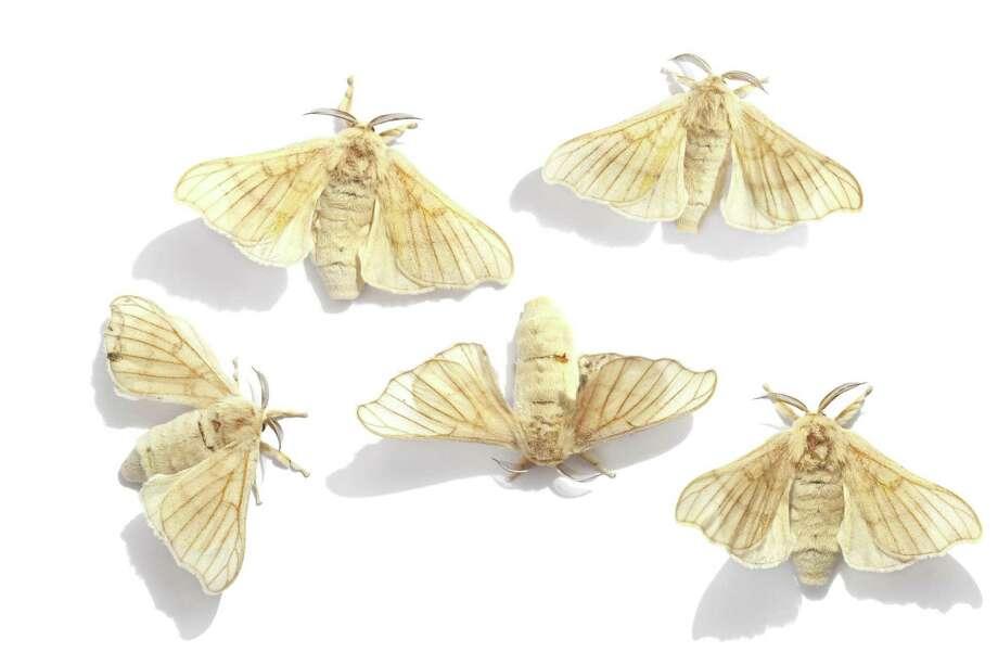 Silkworm moths Photo: Alexey Protasov - Fotolia / Alexey Protasov - Fotolia
