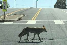 Coyote crossing Turkey Street in San Francisco, 2018.