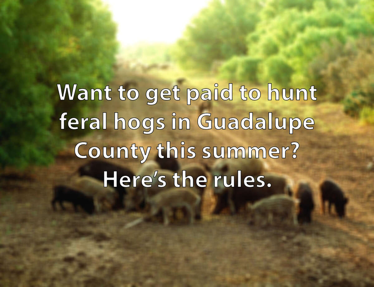 Want to get paid to hunt feral hogs in Guadalupe County this summer? Here's the rules.