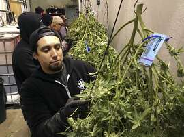 FILE - In this Feb. 27, 2018 photo, Anthony Uribes processes a marijuana plant with an attached tracking label at Avitas marijuana production facility in Salem, Ore. The cannabis tracking system used by Avitas is the backbone of Oregon's regulatory system to ensure businesses with marijuana licenses obey the rules and don't divert their product into the black market. The Oregon agency overseeing the state's legal medical marijuana industry admits in a report it has not effectively provided oversight of growers and others, creating opportunities for weed to be diverted into the highly profitable black market. (AP Photo/Andrew Selsky, File)