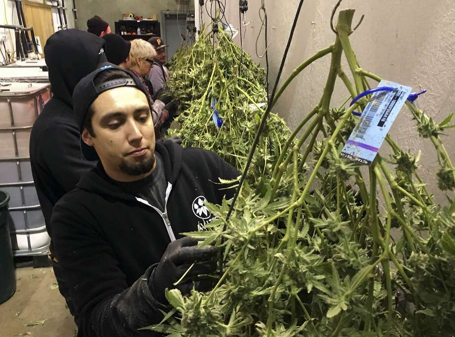 Anthony Uribes processes a marijuana plant with a tracking label in February at the Avitas production facility in Salem. Photo: Andrew Selsky / Associated Press