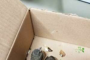 These fledgling house sparrows were left in a box at the Ansonia Nature Center, which, the center's staffstated in a Facebook post, could impede the birds' development.