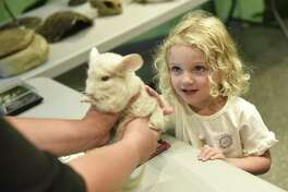 """Old Greenwich's Lara Murphy pets a chinchilla during a live animal presentation by the Stamford Museum & Nature Center at the """"Mountain Lions, Tigers, and Bees, Oh My!"""" Summer Family Day at the Bruce Museum in Greenwich, Conn. Sunday, July 15, 2018. Activities included a performance of """"To Bee or Not to Bee"""" from Jonathan Mirin of the Piti Theatre Company as well as a live animal experience from the Stamford Museum & Nature Center."""