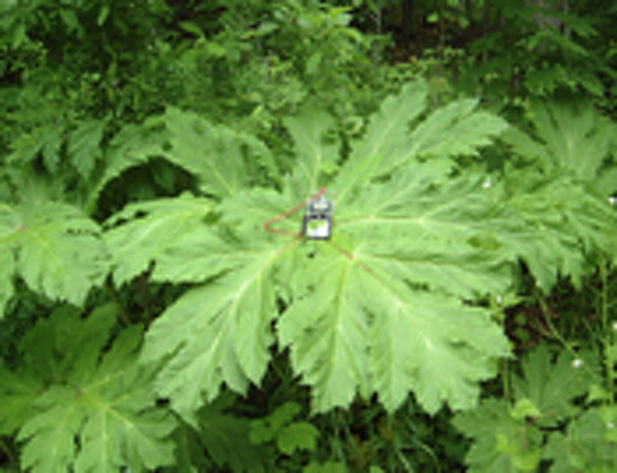 The sap of giant hogweed can cause severe burns.