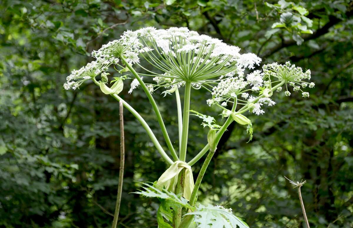 Giant hogweed, a toxic weed, can grow up to 14 feet tall.