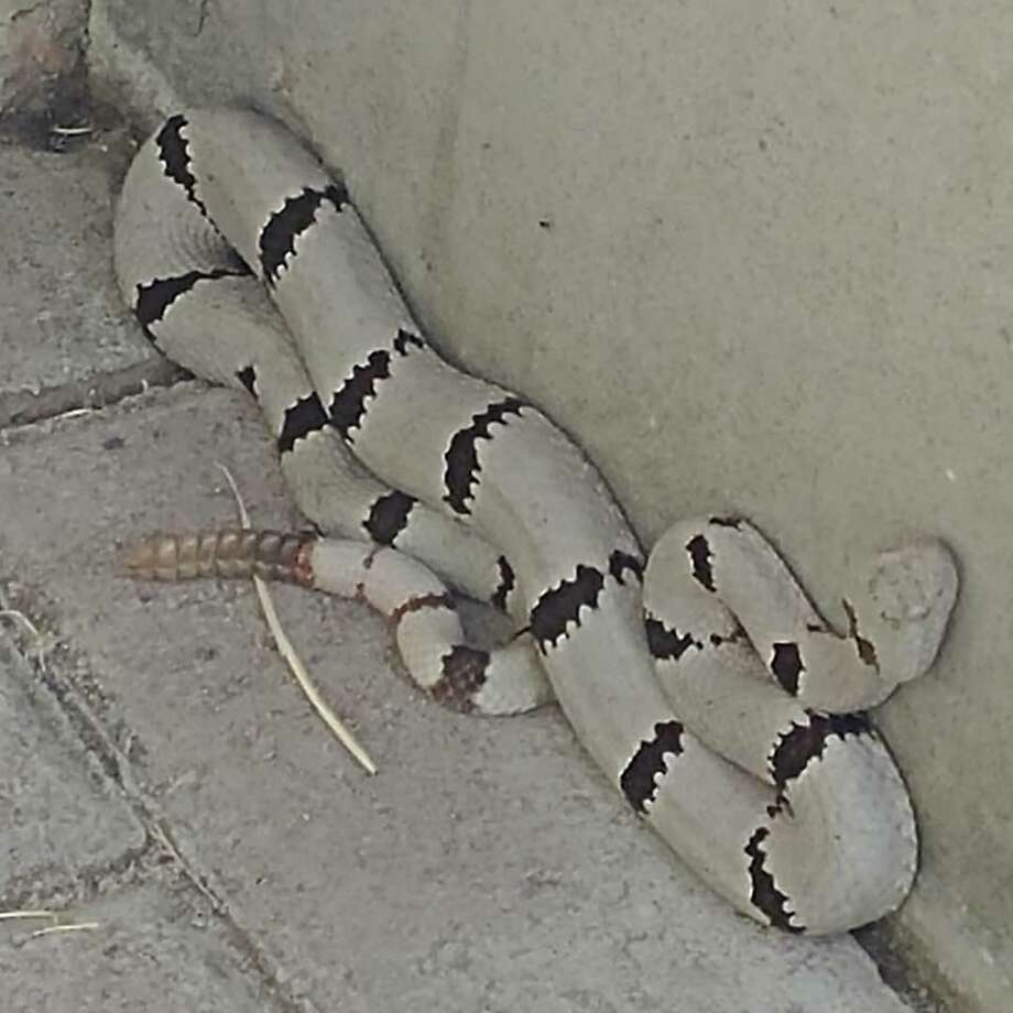 This photo of a rock rattle snake, captured by the Texas Parks and Wildlife Department in El Paso, has attracted national attention. (Courtesy of Texas Parks and Wildlife Department) Photo: Courtesy Of Texas Parks And Wildlife Department