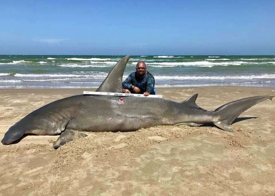"A man caught a 14-foot hammerhead shark at Padre Island National Seashore Saturday afternoon. He tried to release the shark after, but eventually was forced to accept that ""she was done,"" the man said in a Facebook post. The shark meat was donated. (Courtesy of South Texas Fishing Association). Photo: Courtesy Of South Texas Fishing Association"