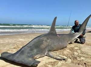 """A man caught a 14-foot hammerhead shark at Padre Island National Seashore Saturday afternoon. He tried to release the shark after, but eventually was forced to accept that """"she was done,"""" the man said in a Facebook post. The shark meat was donated. (Courtesy of Poco Cedillo)."""