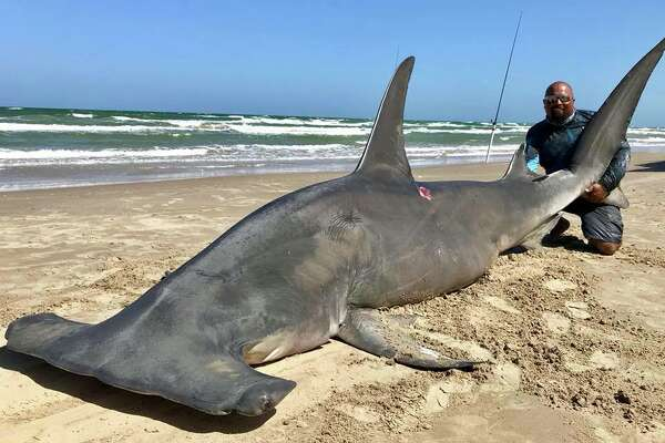 "A man caught a 14-foot hammerhead shark at Padre Island National Seashore Saturday afternoon. He tried to release the shark after, but eventually was forced to accept that ""she was done,"" the man said in a Facebook post. The shark meat was donated. (Courtesy of Poco Cedillo)."