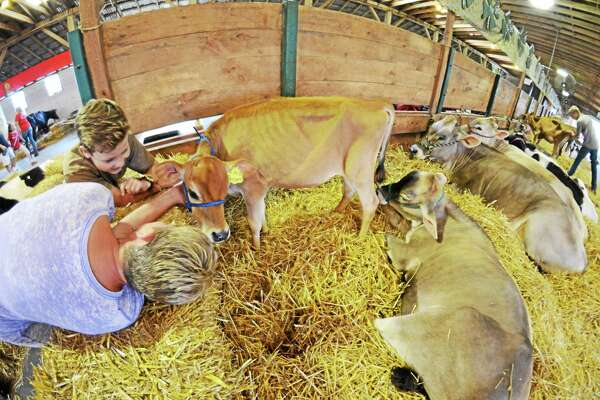Aimee and Evan Carpenter, of Washington, meet Chesney, a calf in the care of Konnor Curtis of North Canaan, at the Litchfield County 4-H Fair in 2015. This year's fair will be held at the Goshen Fairgrounds Aug. 4-5.