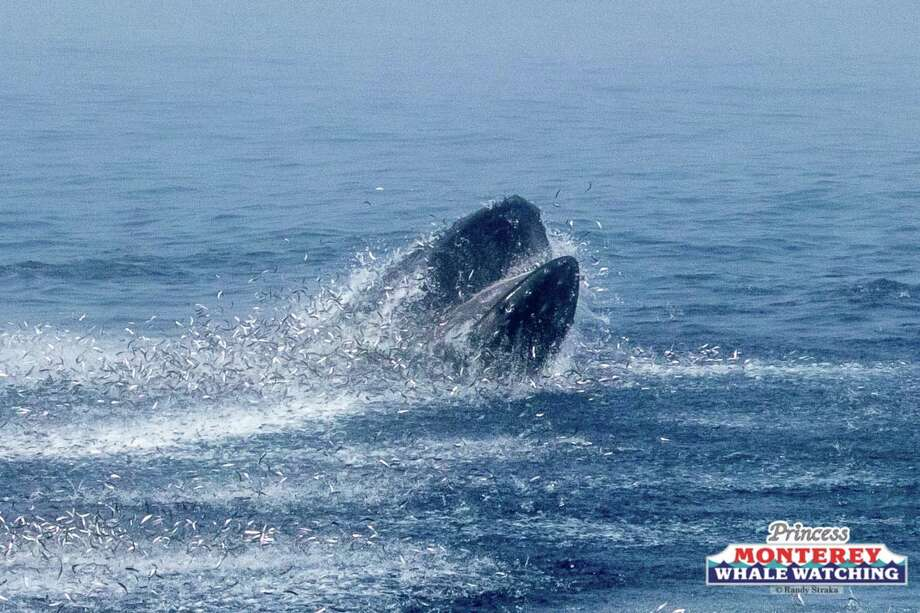 Humpback whales were seen lunge feeding in Monterey Bay on July 13, 2018. Photo: Princess Monterey Whale Watching