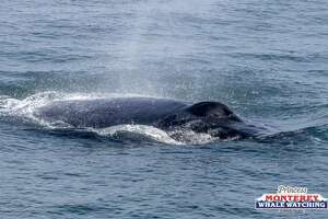 Humpback whales were seen lunge feeding in Monterey Bay on July 13, 2018.