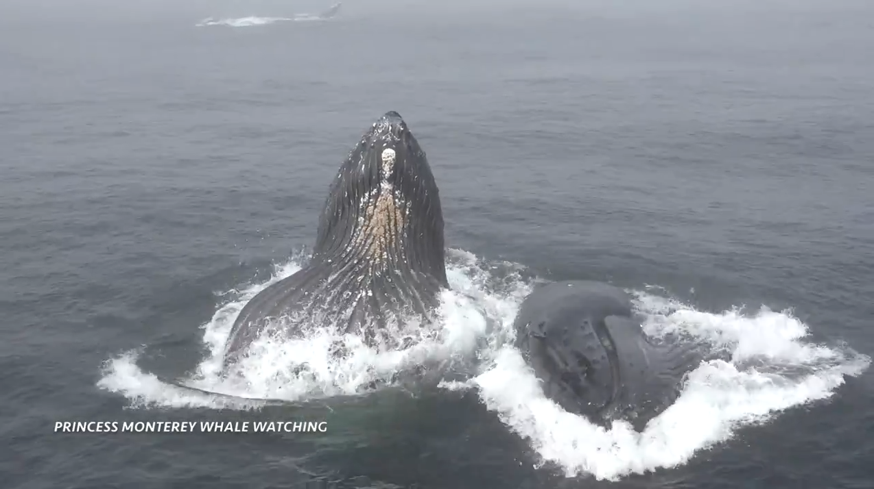 Hungry Humpbacks Surprise Whale Watching Group As They