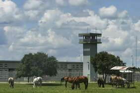 Horses graze outside the TDCJ Allan B. Polunsky Unit July 14, 2018 in Livingston. Christopher Young, who is on death row there for the 2004 murder of Hasmukhbhai Patel, an owner of a San Antonio mini-mart, is scheduled to be executed Tuesday, July 17. (Michael Ciaglo / Houston Chronicle)