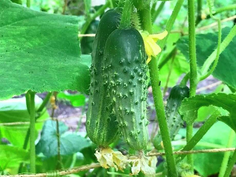 Cucumbers were part of dinner. (Dan Draves/for the Daily News)