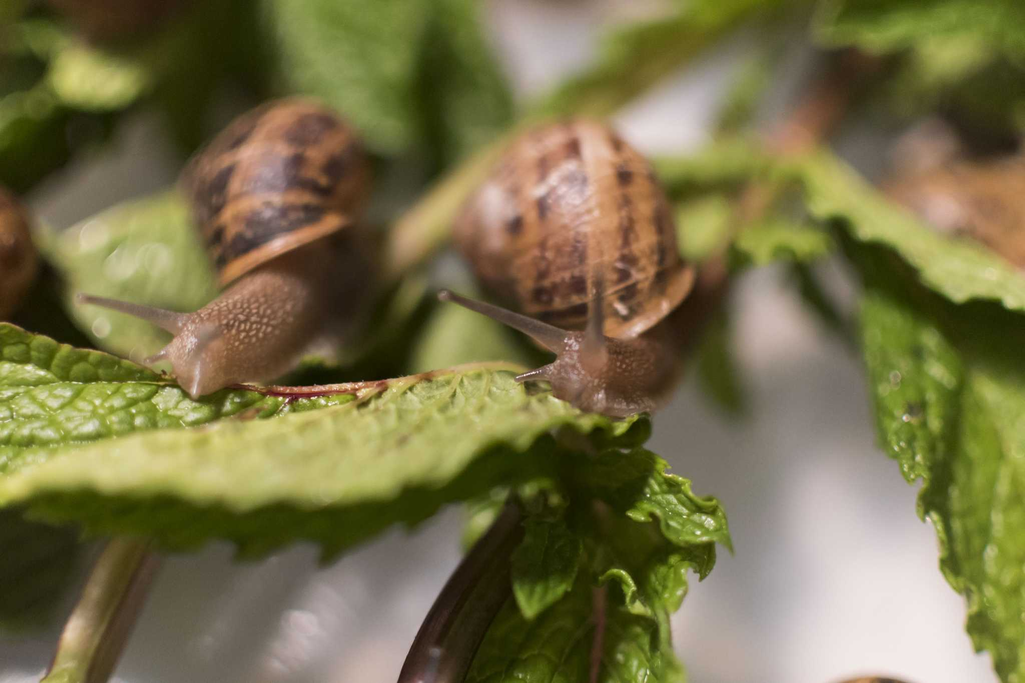 At an American escargot farm, growth proceeds at a snail\'s pace ...
