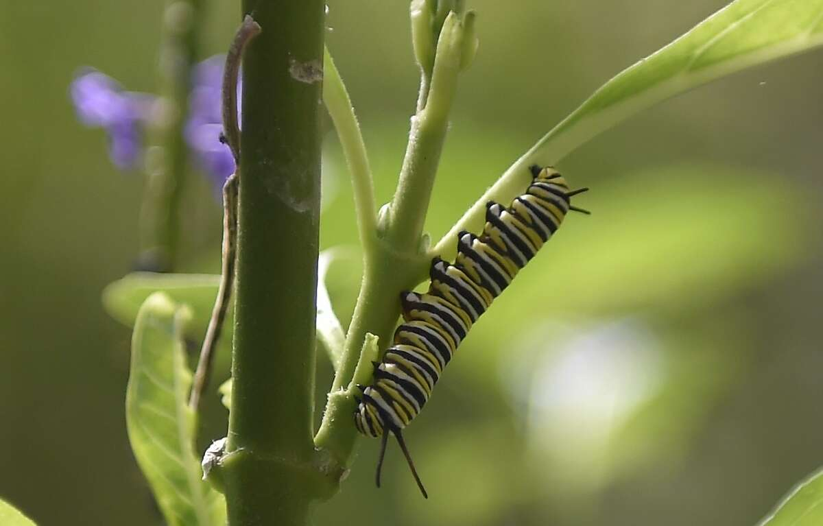 A Monarch butterfly (Danaus plexippus) caterpillar is pictured at a butterfly farm in the Chapultepec Zoo in Mexico City on April 7, 2017. Millions of monarch butterflies arrive each year to Mexico after travelling more than 4,500 kilometres from the Uni