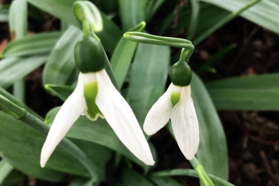 Honeybees emerge in winter when temperatures are above 50 degrees. Early blooms such as the snowdrop can be of vital help. Photo: Adrian Higgins/The Washington Post / The Washington Post