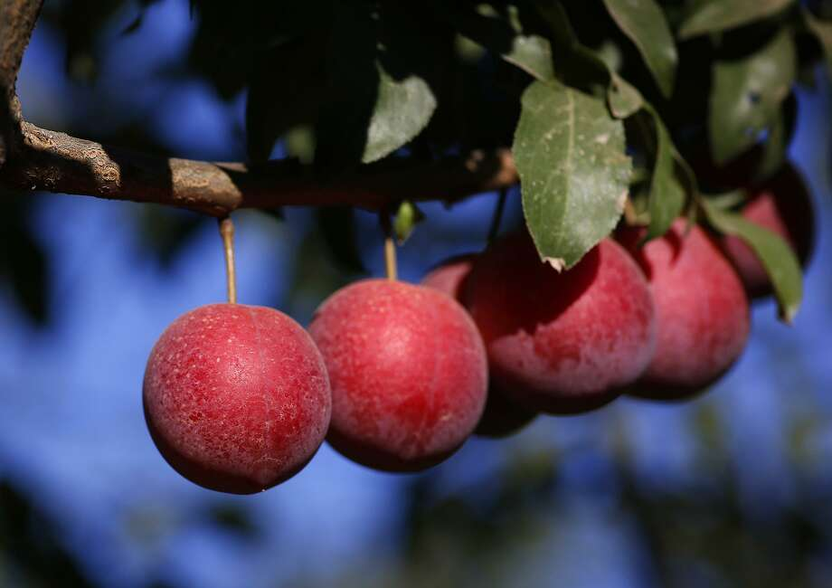 The Verry Cherry Plum is a hybrid of the two seasonal stone fruits now available in grocery stores nationwide. Photo: Courtesy Maurice Cameron
