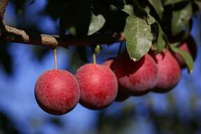 The Verry Cherry Plum is a hybrid of the two seasonal stone fruits now available in grocery stores nationwide.