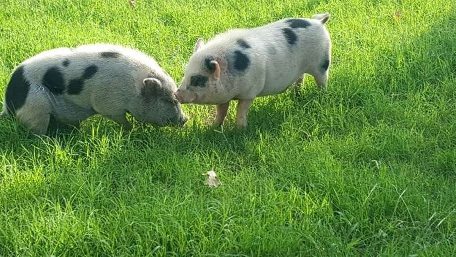 Ham Solo and Luke Skyporkerare two Vietnamese pot-bellied pigsthatsurprised a North Side resident when they appeared in her backyard, not far from astreet named Bacon Road. Photo: Animal Care Services