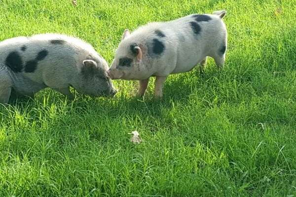 Ham Solo and Luke Skyporker are two Vietnamese pot-bellied pigs that surprised a North Side resident when they appeared in her backyard, not far from a street named Bacon Road.