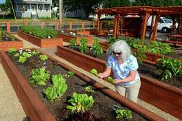 Above, Joyce Toth, of Shelton, picks  lettuce at Griffin Health Community Garden at Griffin Hospital in Derby  on Friday.  The garden, which is one of ten in the area, was built through Valley United Way's Grow Your Own program. Residents in the community are able to come and harvest veggies grown there for themselves. It also gives hospital patients and staff a place to relax.
