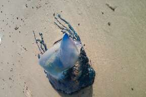 This man-of-war had washed up on the beach and was still alive. The tip on the bubble followed me around while I walked around it taking pictures.