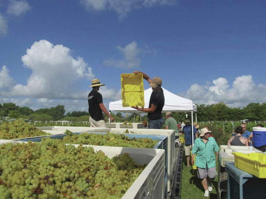The grapes were plentiful and beautiful at Haak Winery in Galveston County this past week. These hybrid Blanc du Bois grapes are harvested earlier than the classic grape harvest which should start in the first part of August.