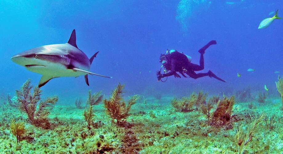 """Bear Grylls swimming in background filming shark. The star of NBC's celebrity survival series """"Running Wild With Bear Grylls,""""stars in """"Bear vs. Shark"""" during Shark Week 2018 Photo: Discovery Channel"""